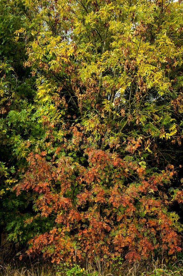 在秋天阵雨的灰和欧洲花楸 免版税库存图片