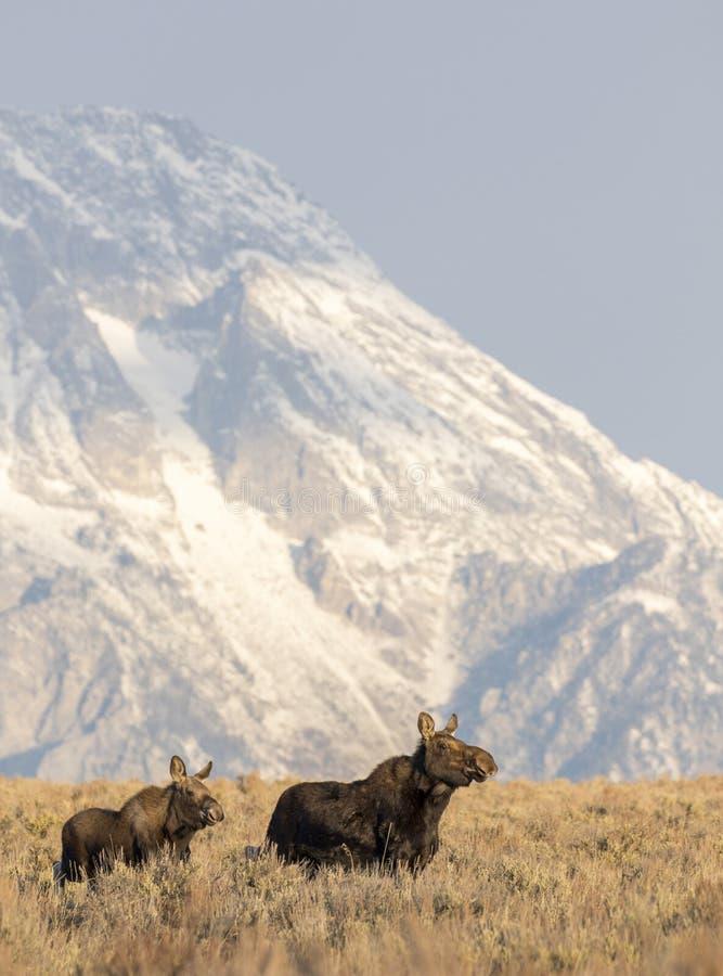 在秋天颜色储蓄图象的母牛和小牛麋 库存图片