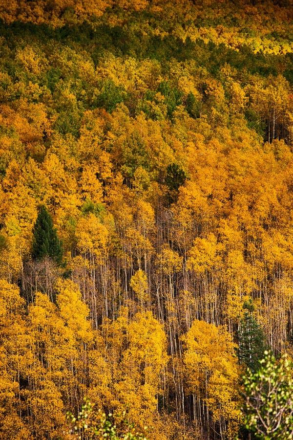 在秋天颜色的亚斯本树 免版税库存照片