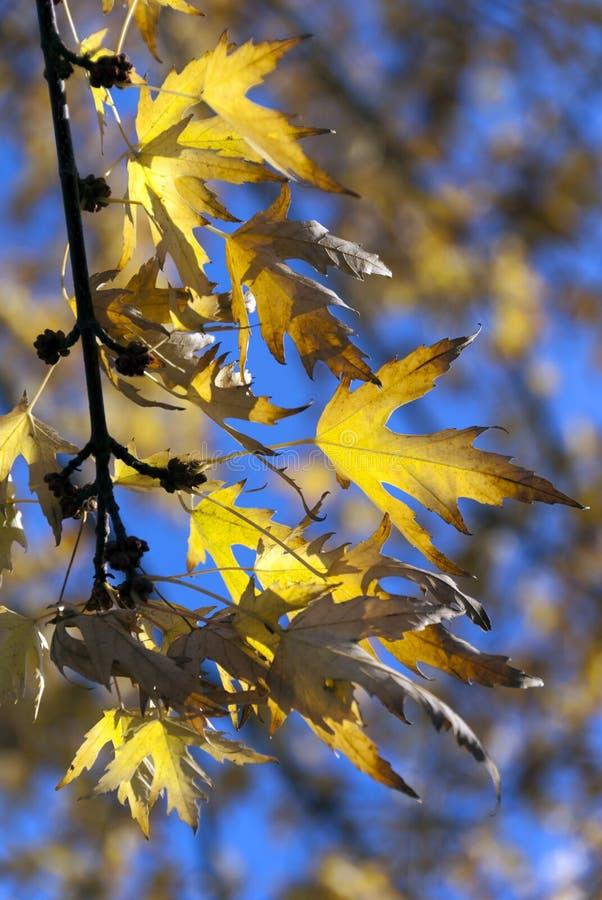在秋天颜色的槭树叶子 免版税库存图片