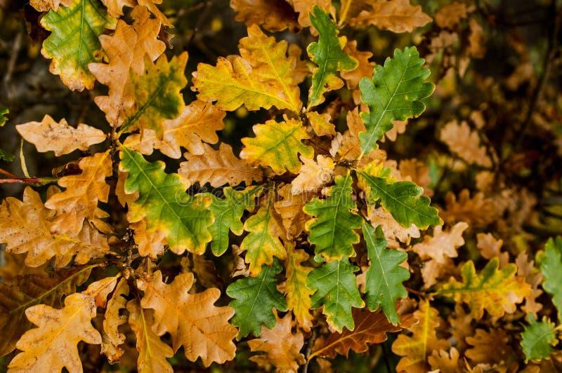 在秋天颜色的橡木叶子 图库摄影