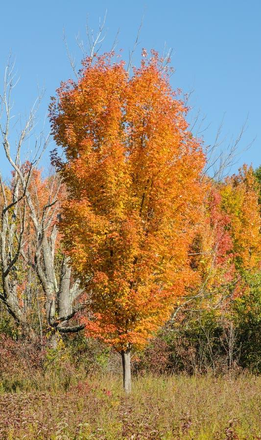 在秋天颜色的糖槭 免版税图库摄影
