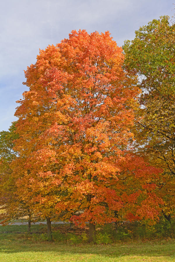 在秋天颜色的糖槭 免版税库存图片