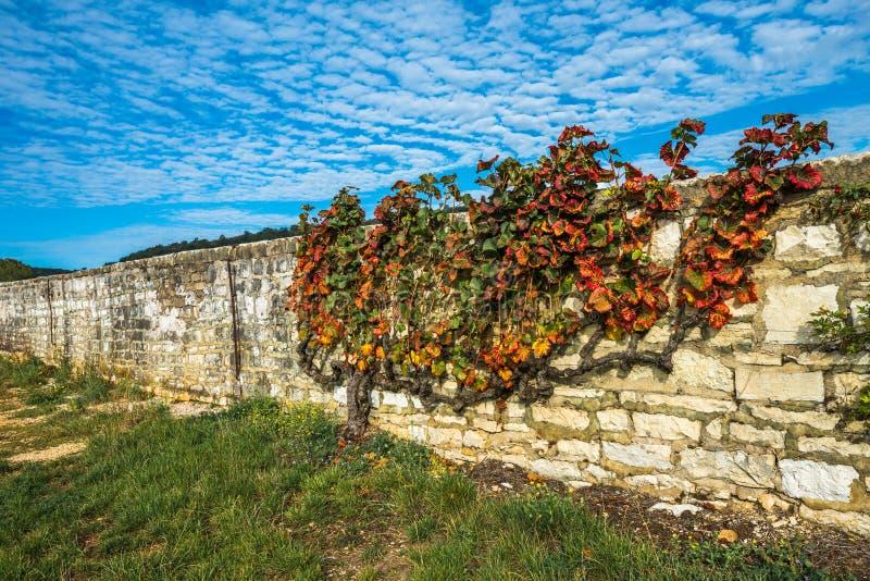 在秋天颜色的老藤,伯根地,法国 免版税库存图片