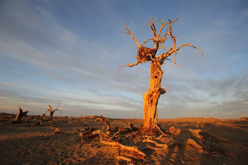 在秋天黎明的仅有的结构树 库存照片