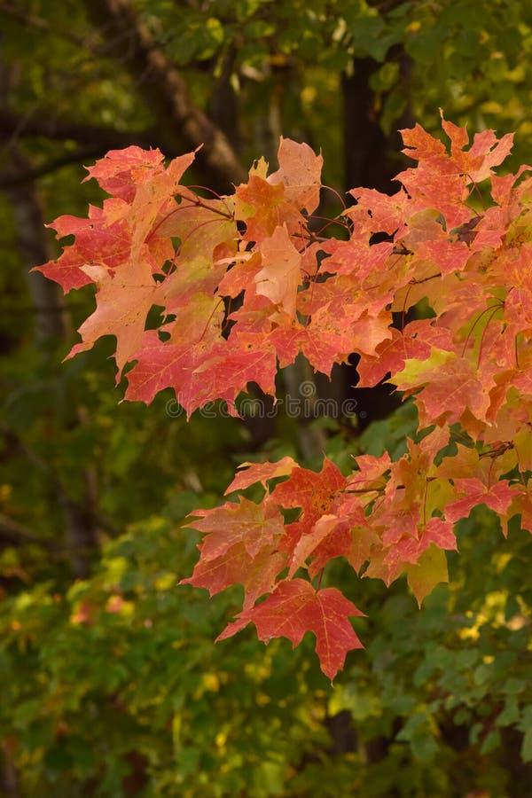 在秋天,北部NY的转动的叶子 库存照片