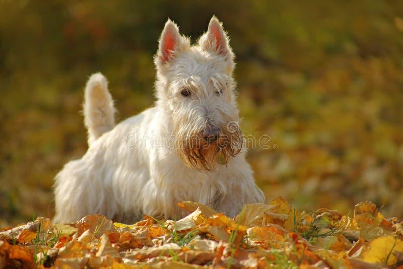 在秋天,黄色树森林期间白色小麦苏格兰狗,坐石渣路用桔子在背景中,离开 狗 图库摄影