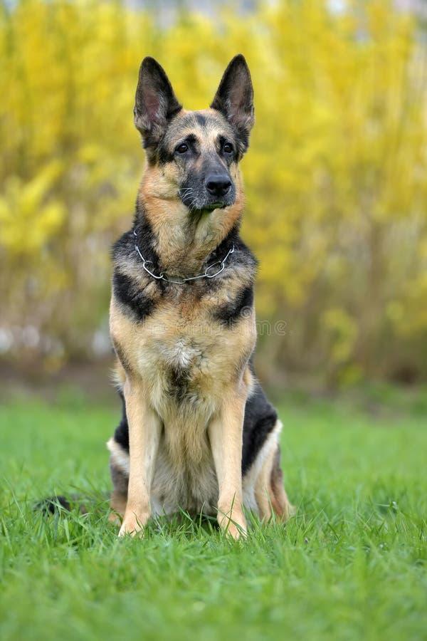在秋季背景的德国牧羊犬狗 免版税图库摄影