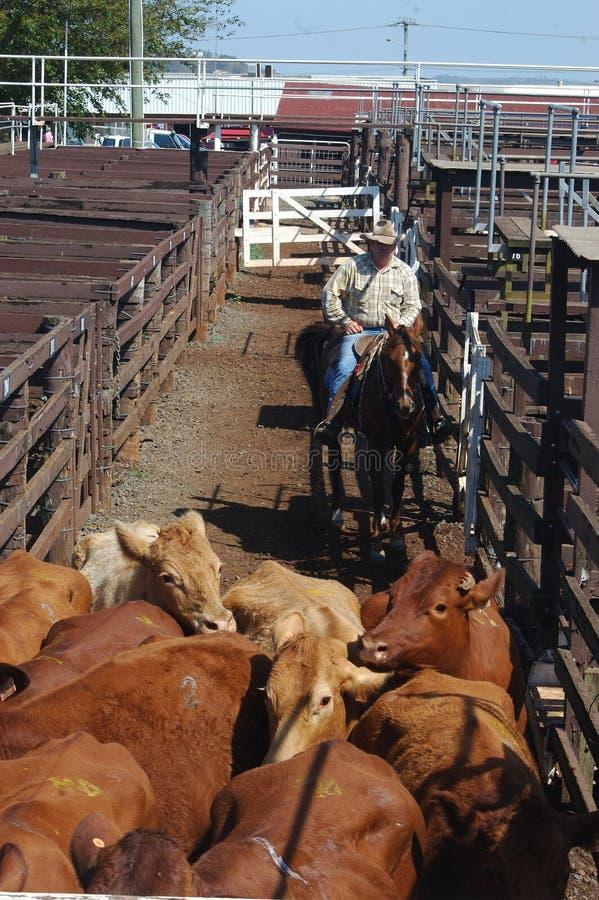 在种族的牛 免版税库存照片