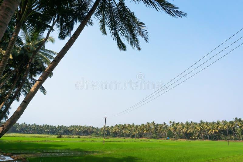 在种植园的米耕种在棕榈树丛之间在亚洲的南部的国家 库存图片