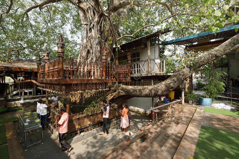 在科伦坡Gangaramaya寺庙的圣洁Bodhi树在斯里兰卡 免版税图库摄影