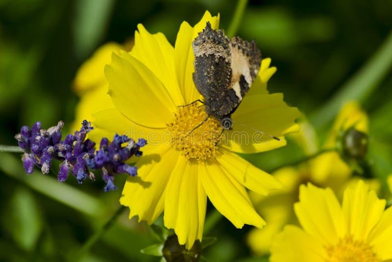在科塔tinctoria金黄延命菊、黄色春黄菊或者牛眼菊春黄菊花的一只蝴蝶  免版税库存图片