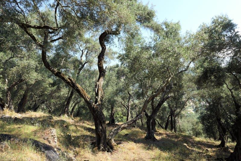 在科孚岛海岛希腊上的橄榄树种植园 免版税库存照片
