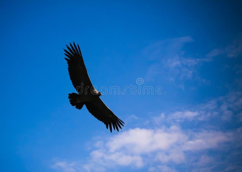 在科尔卡峡谷上的神鹰在神鹰十字架或cruz台尔condor观点, chivay