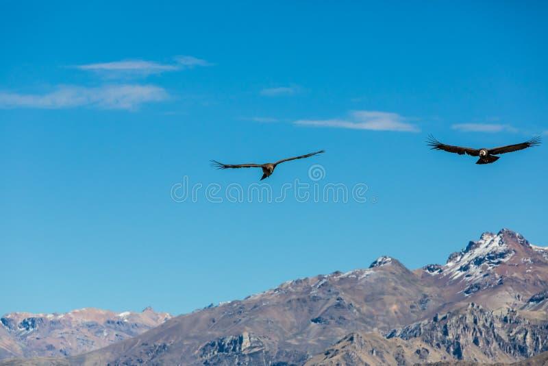 在科尔卡峡谷,秘鲁,南美的飞行神鹰。这是神鹰地球上的最大的飞鸟 免版税库存图片