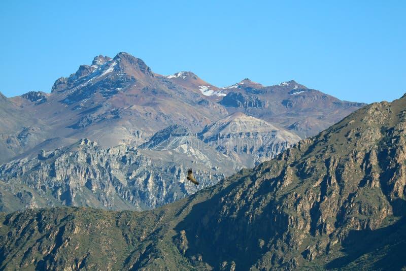在科尔卡峡谷,高地的一次安第斯秃鹰飞行在秘鲁的阿雷基帕大区 免版税库存图片