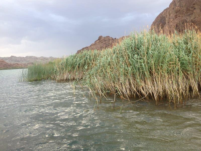 在科罗拉多河的香蒲 免版税库存图片