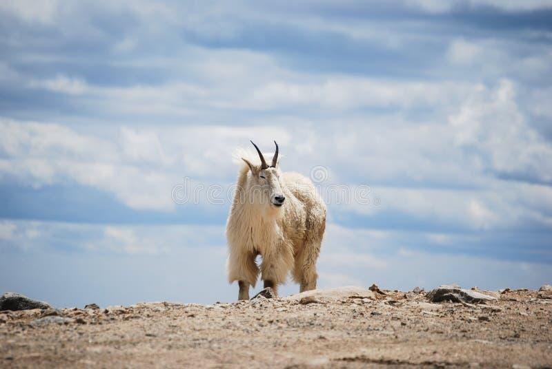 在科罗拉多` s落矶山,美国的石山羊 免版税图库摄影