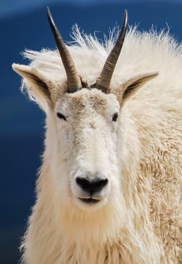在科罗拉多` s落矶山,美国的石山羊 图库摄影