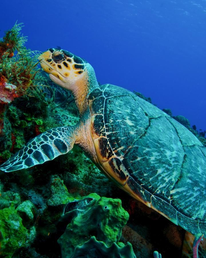 在科苏梅尔礁石的玳瑁  图库摄影