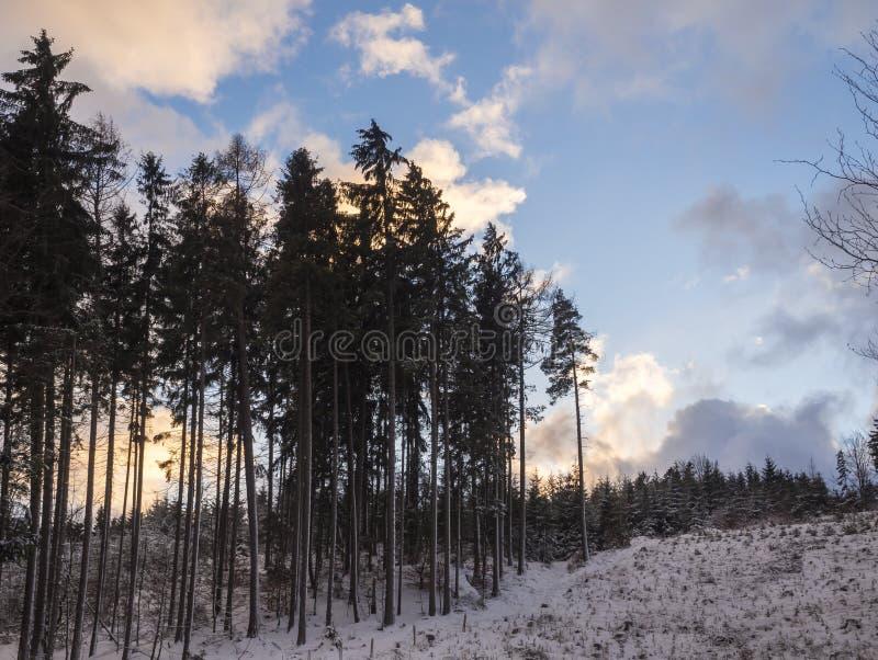 在积雪的森林风景的高云杉的树与多雪的树,分支,在黄昏的田园诗冬天风景,橙色 库存照片