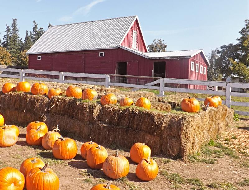 在秸杆和红色谷仓的南瓜 库存图片