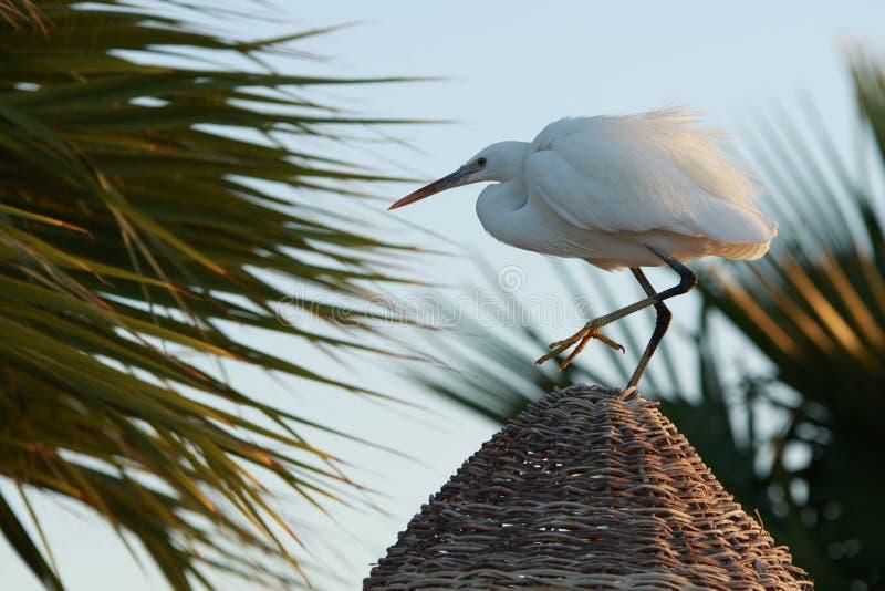 在秸杆屋顶的优美的苍鹭 库存照片
