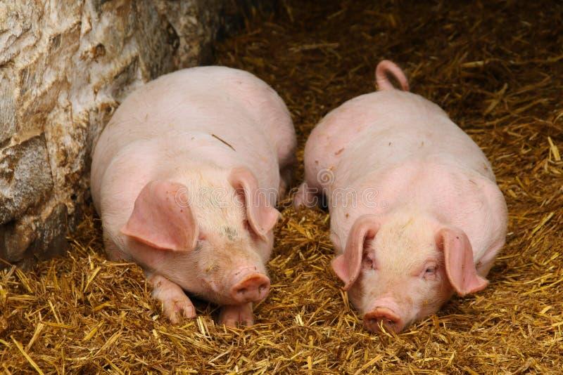 在秸杆床上的两个小猪  免版税库存照片