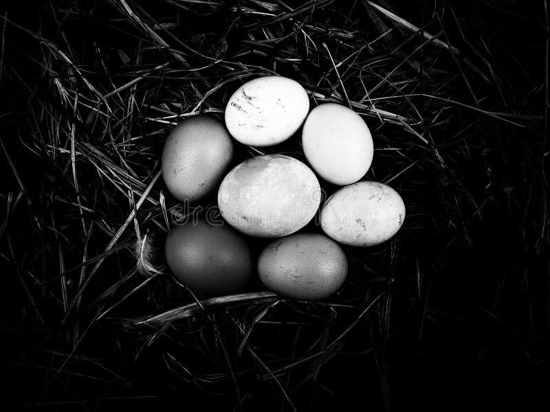 在秸杆背景的鸡蛋在黑白 免版税图库摄影