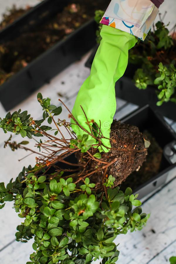在移植植物的绿色橡胶手套的妇女的手入新的罐 家庭从事园艺的调迁的房子植物 免版税图库摄影