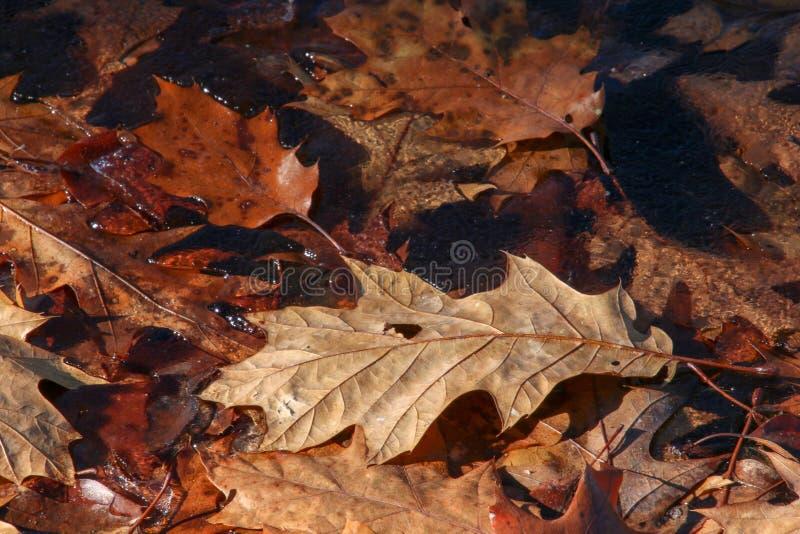 在稀薄的冰的五颜六色的秋天橡木叶子在银色小河俄亥俄 皇族释放例证