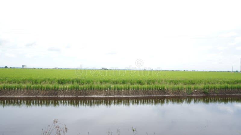在稻田之间的奔跑? 库存照片