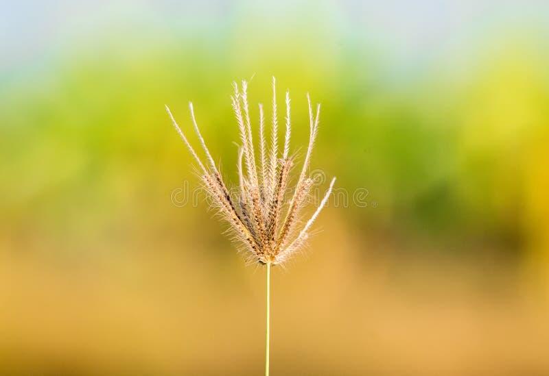 在稻田附近的圆鼓的手指草虎尾草属barbata花 免版税库存照片