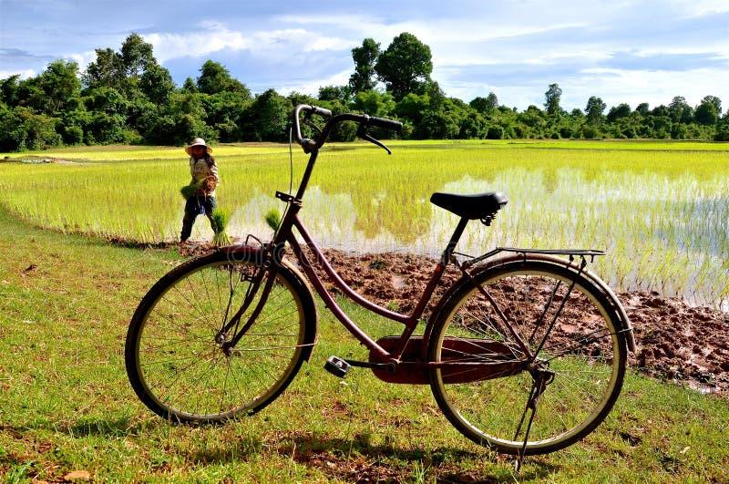 在稻米的一辆自行车 库存照片