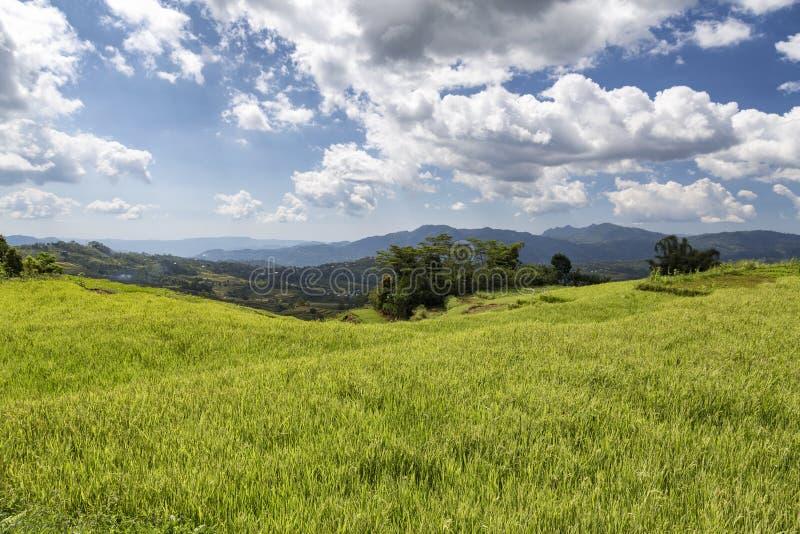 在稻米的天空蔚蓝 图库摄影