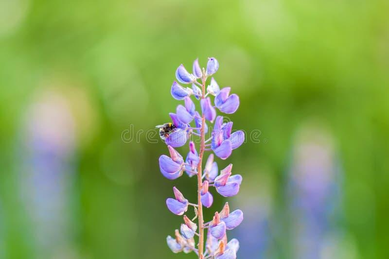 在穆斯卡里花的土蜂  穆斯卡里armeniacum 葡萄风信花 ?? r 库存图片