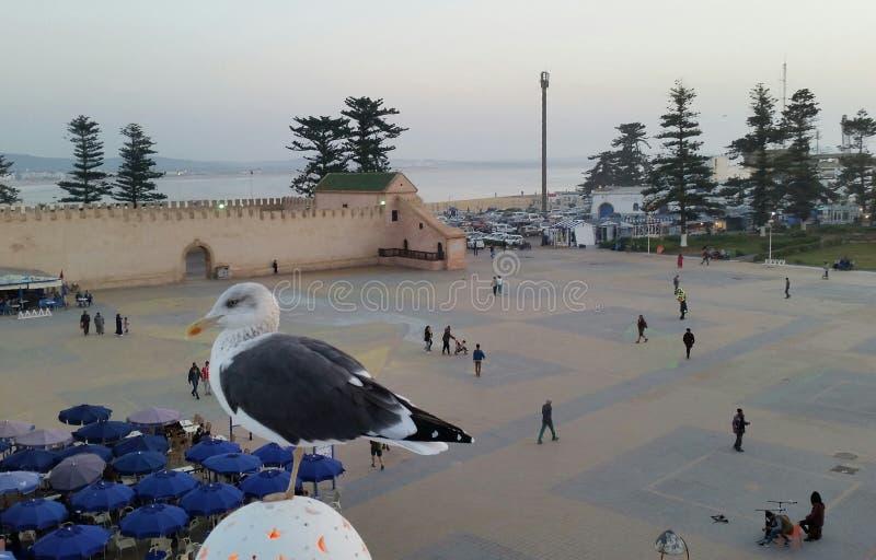 在穆莱哈桑正方形的背景的海鸥在索维拉,摩洛哥 免版税库存照片