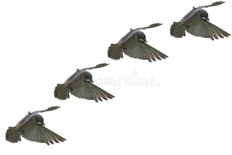 在空气的在岸上的Woodswallow鸟飞行作为背景 库存照片