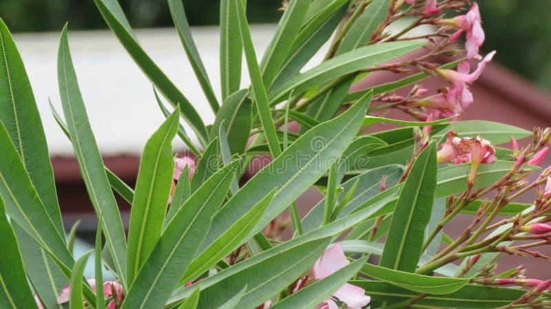 在空气花开花的叶子 免版税库存照片