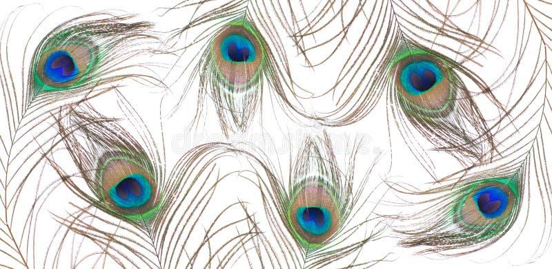 在空白背景查出的孔雀羽毛 库存照片