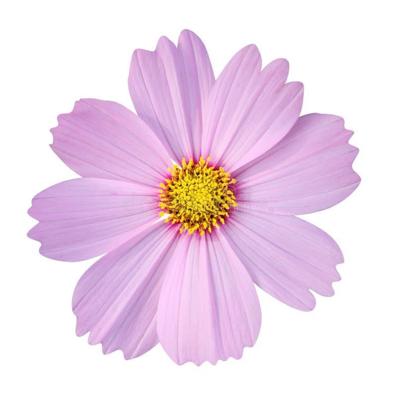 在空白背景查出的波斯菊花 图库摄影
