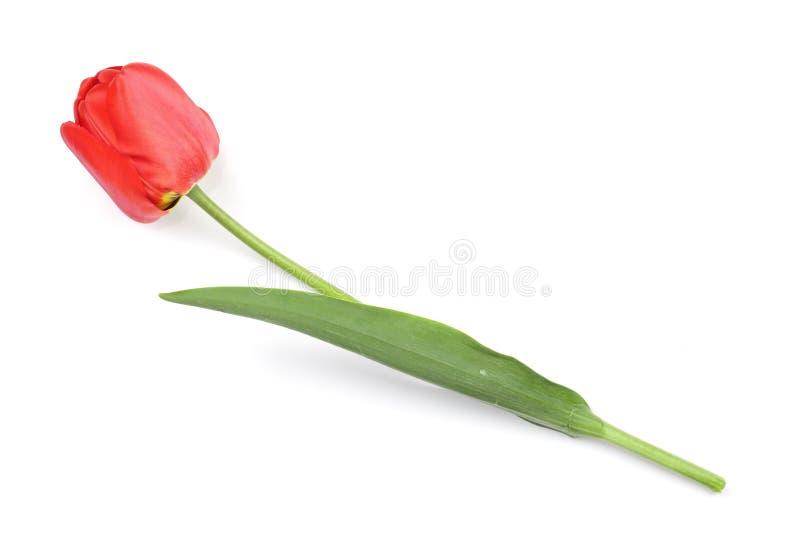 在空白背景查出的红色郁金香 顶视图 平的位置样式 库存图片