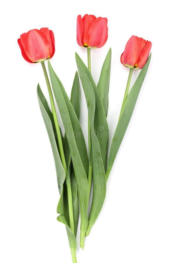 在空白背景查出的红色郁金香 顶视图 平的位置样式 库存照片