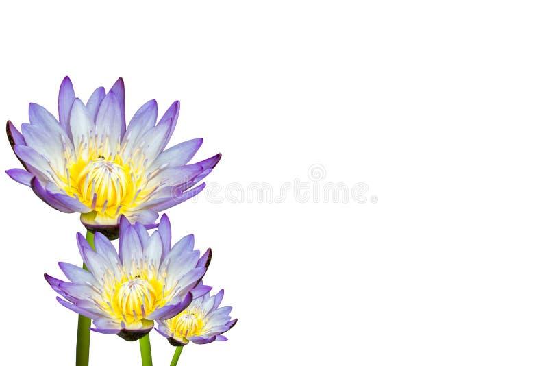 在空白背景查出的莲花 图库摄影