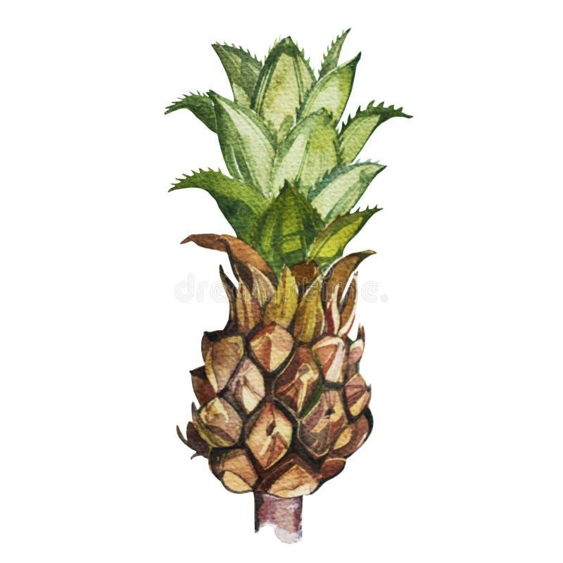 在空白背景查出的菠萝 热带集合,水彩剪影 向量例证