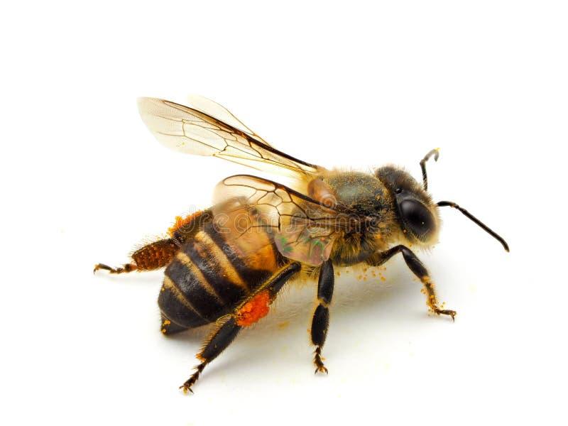 在空白背景查出的蜂 免版税库存图片