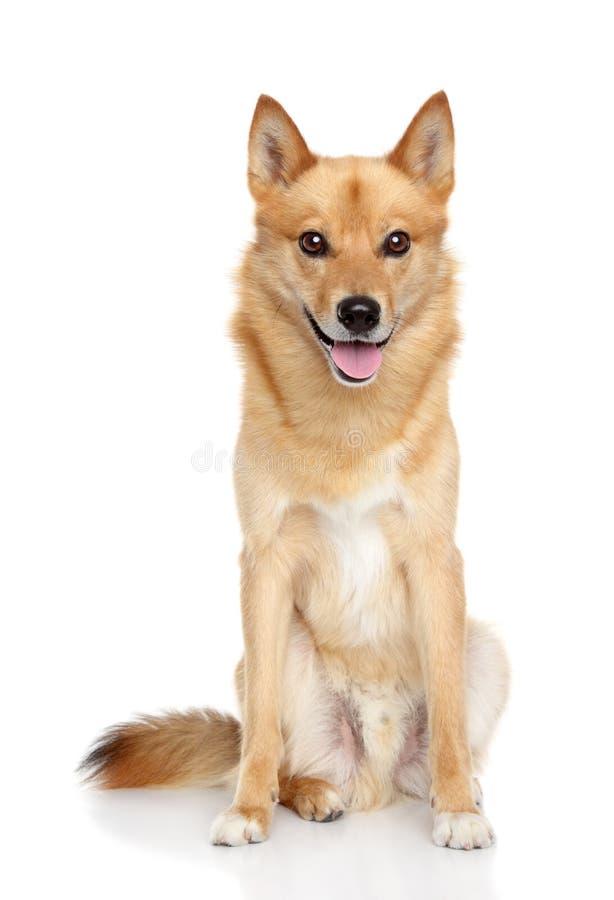 在空白背景的愉快的芬兰波美丝毛狗 免版税库存图片