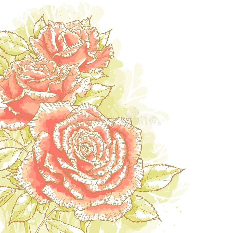 在空白背景的桃红色玫瑰