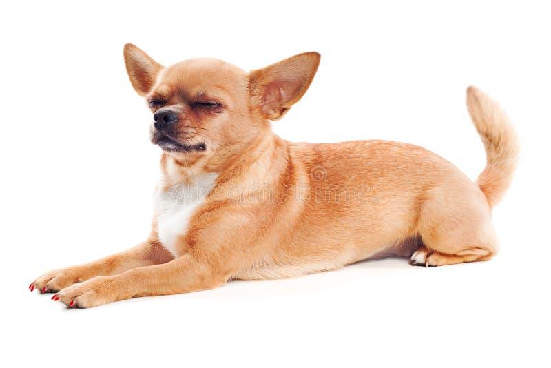 在空白背景的红色奇瓦瓦狗狗 库存照片