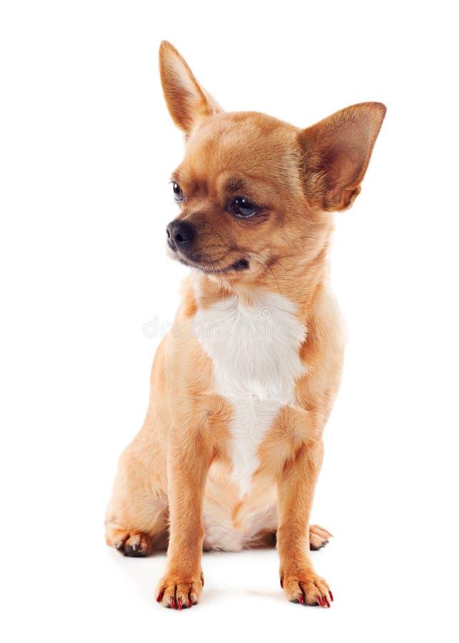 在空白背景的红色奇瓦瓦狗狗 图库摄影
